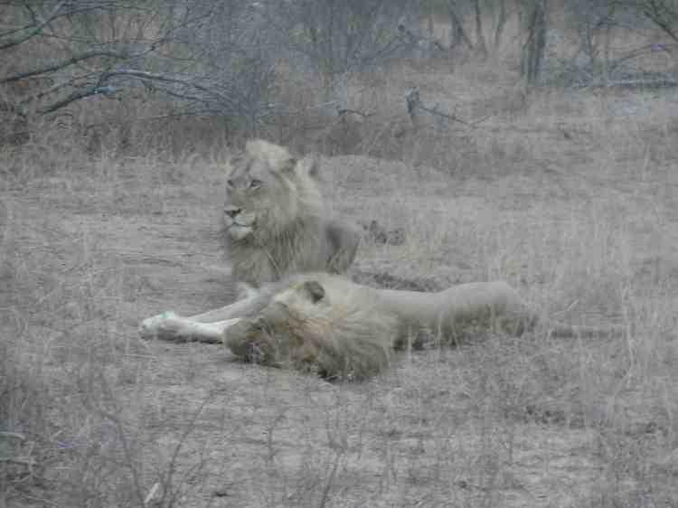 Lion Socialite
