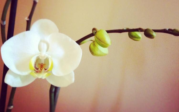 Kova'nın Çiçeği